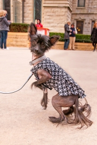 sophisticated_pup_2014 804